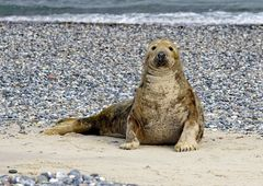 Kegelrobbe  am Strand von Helgoland ( Düne)