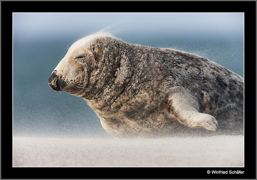 Kegelrobbe (Halichoerus grypus) Bulle im Sandsturm....