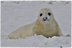 Kegelrobbenbaby im Schnee