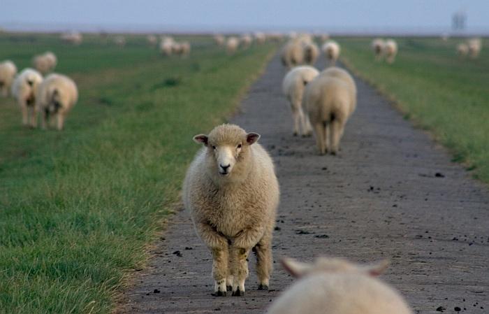kein dummes Schaf...