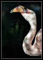 Kein Flamenco, sondern Flamingo