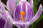 Kein Frühling ohne Krokus