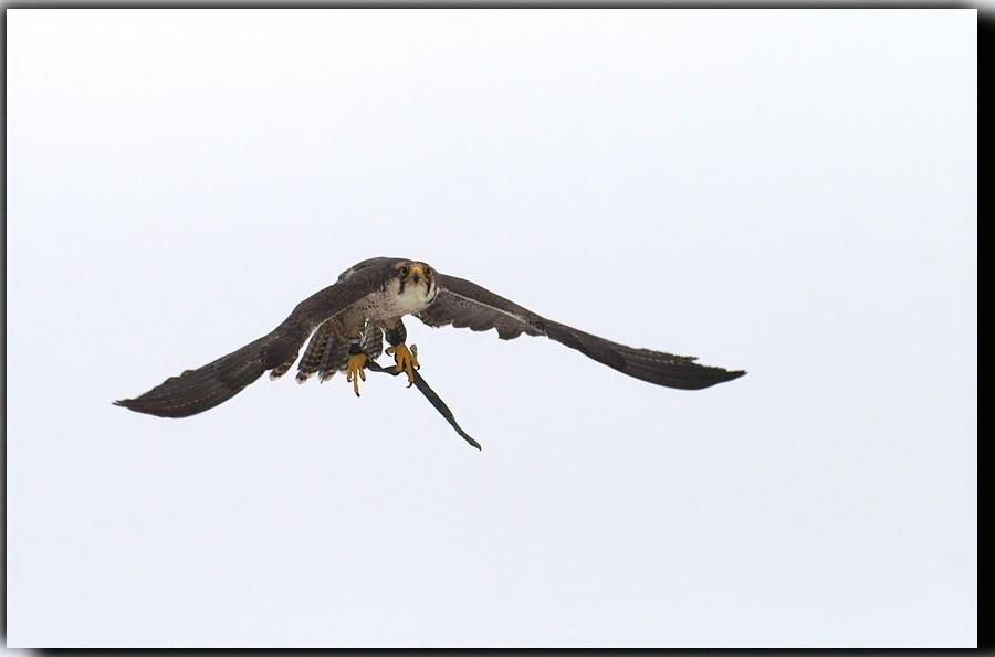 KEIN Harris Hawk, ein Lannerfalke :-)