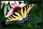 Kein Monarch, sondern Tiger-Schwalbenschwanz