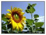 Kein Sommer ohne Sonnenblumen