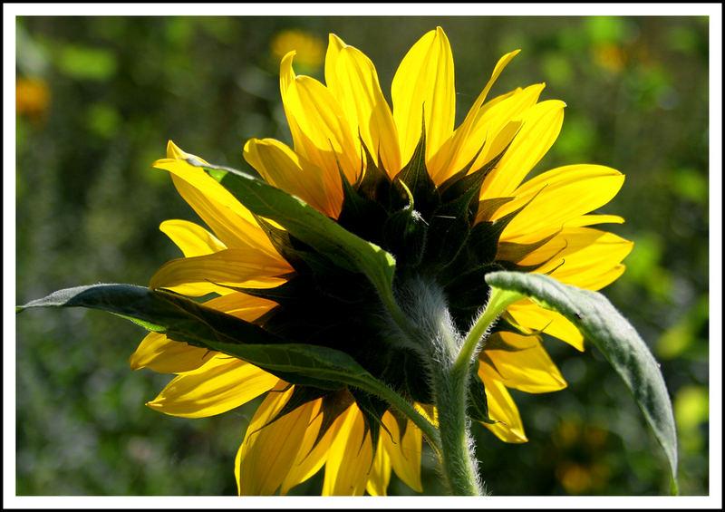 Kein Sommer ohne Sonnenblumenfoto - und hier ist es ;-)