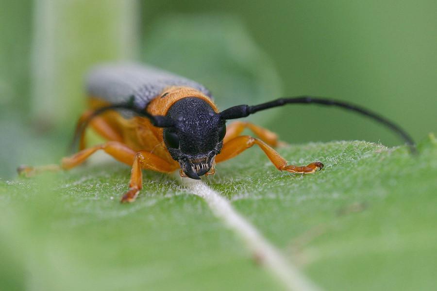 Keine Ahnung, was das für ein Käfer ist ...