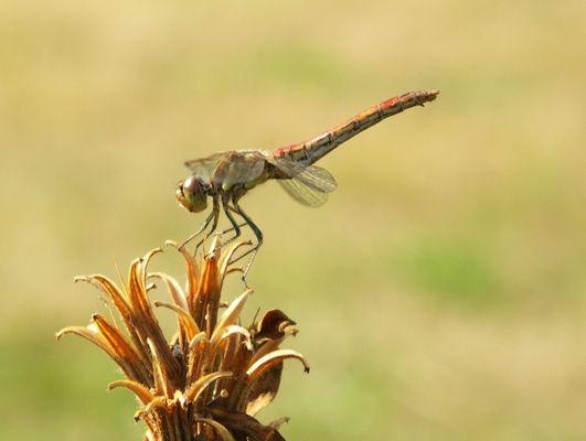 keine Ahnung, was für eine Libellenart das ist