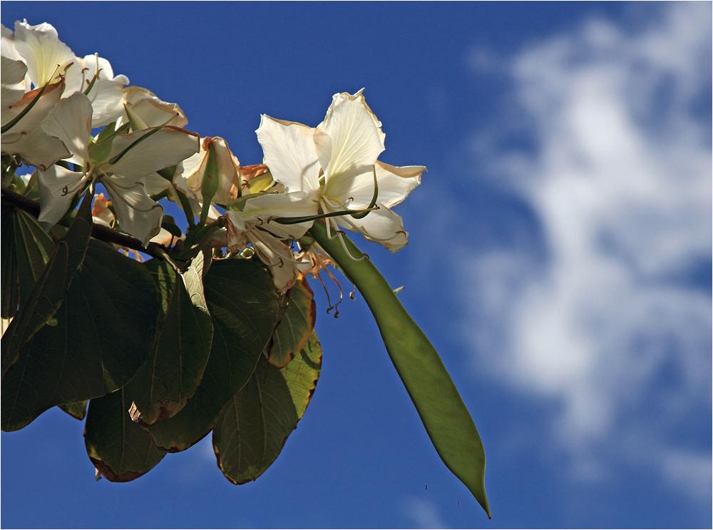 keine Ahnung wie dieser Baum heißt, der so wundervolle Blühten trägt