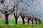 keine Angst, aus Schneeflocken wurden Obstblüten...