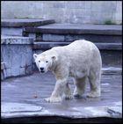keine Beschäftigung für Eisbären