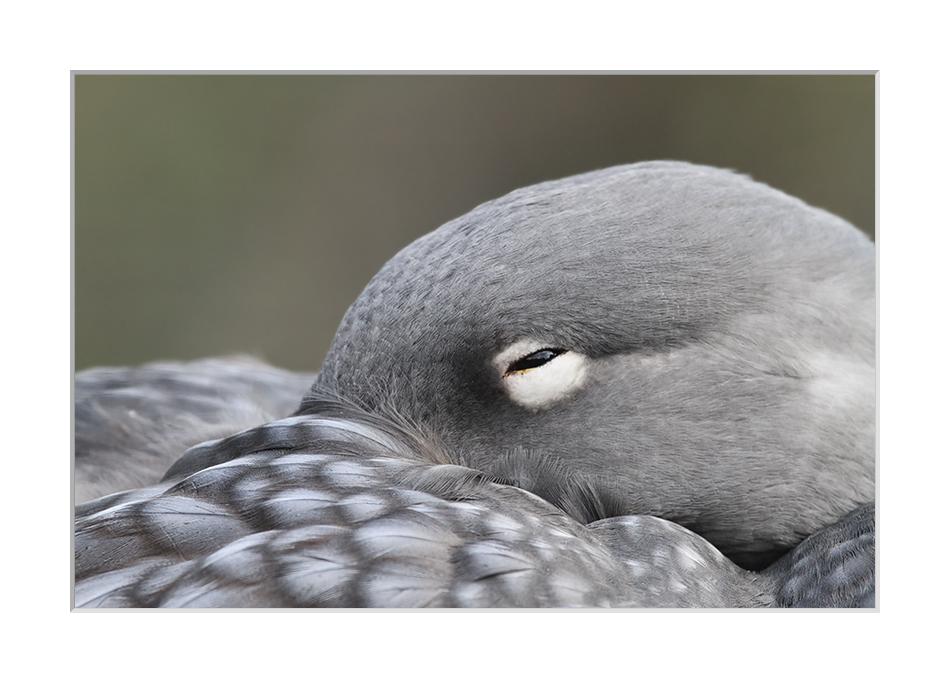 ...keine Falkland-,  Weißkopf- oder  Langflügel-........