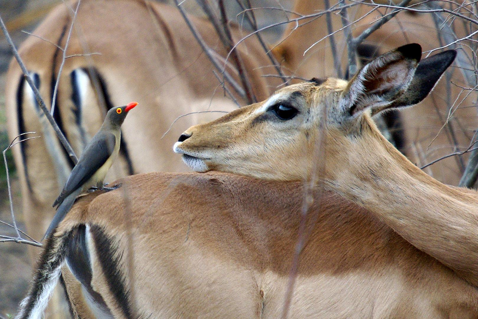 Keine Freundschaft - eine Zweckgemeinschaft, Impala und Rotschnabelmadenhacker