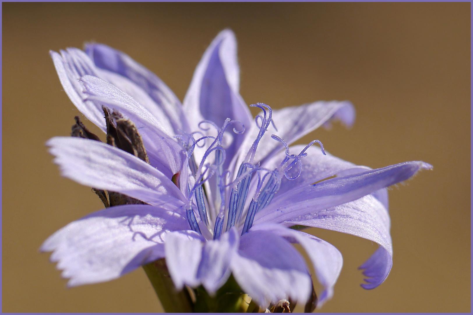 keine Kornblume, aber vollkommene Schönheit