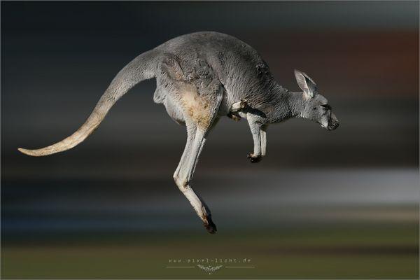 Keine Ruh beim Känguru