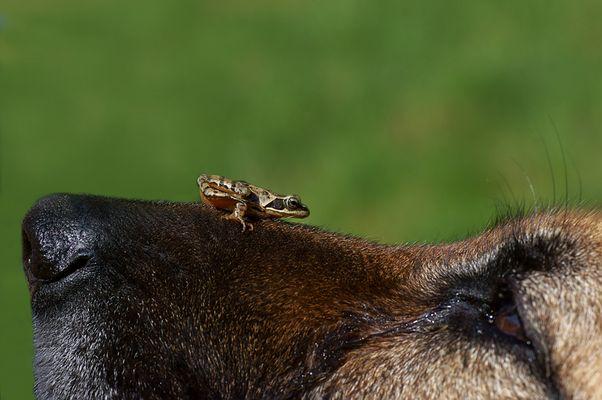 Keine Sorge, der Frosch kann Hypnose...