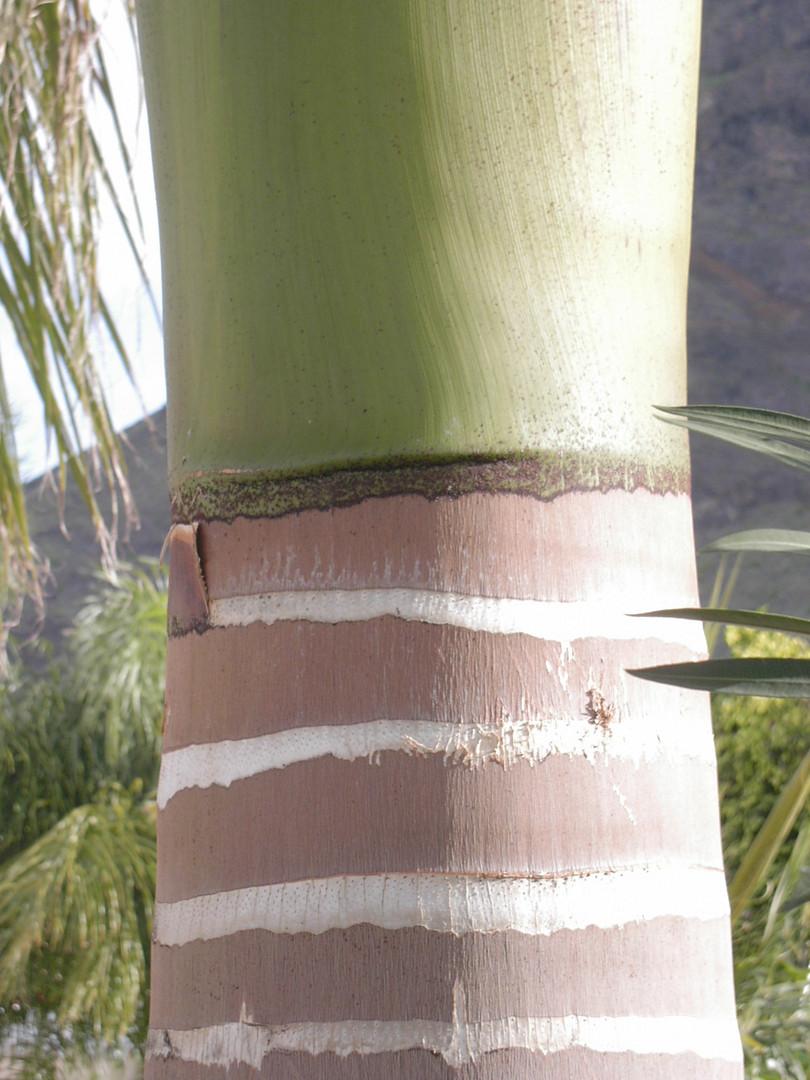 Keine Ziersäule, sondern der Stamm einer Palme