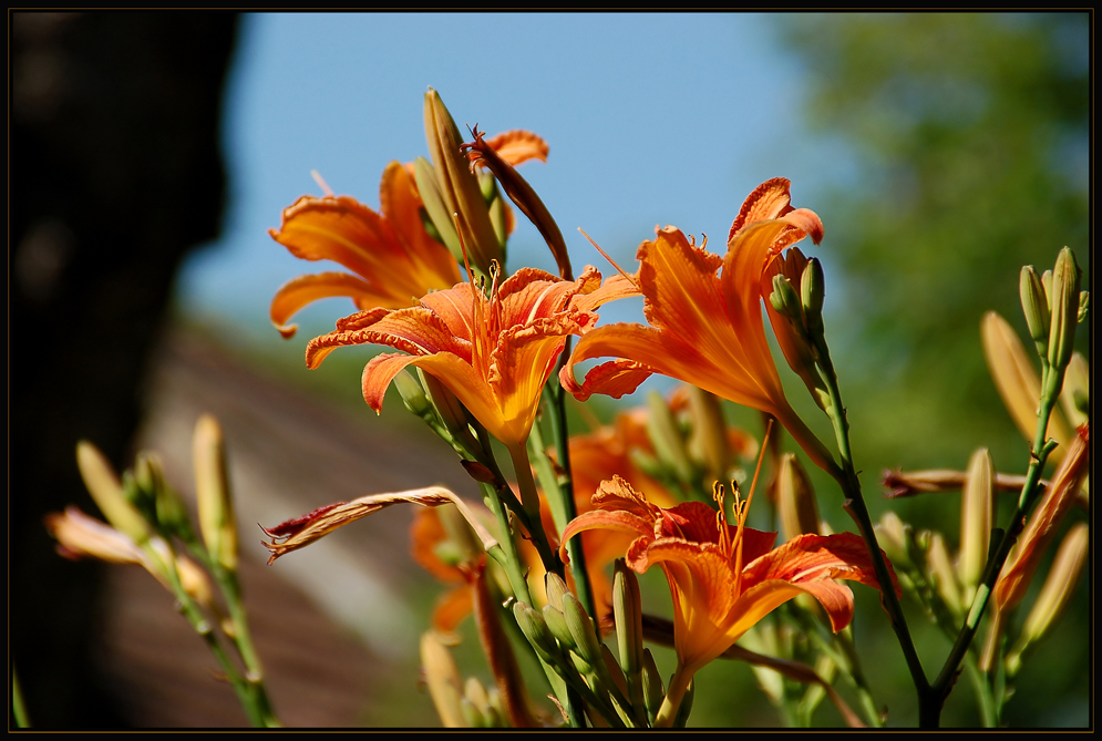 Kellergassen-Blumen