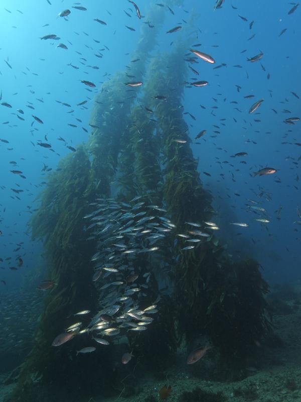 Kelp mit Fischen