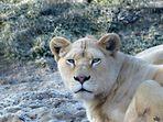 Kenia den weiße Löwin in Mondo Verde Holland.