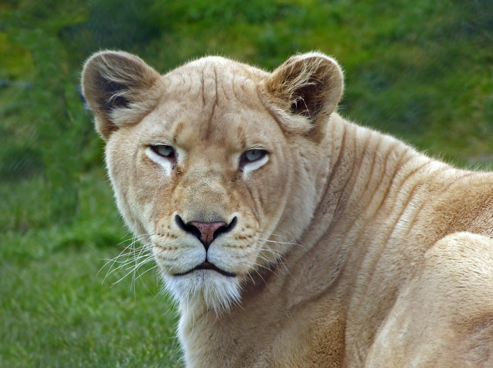 Kenia - die weisse Löwin II