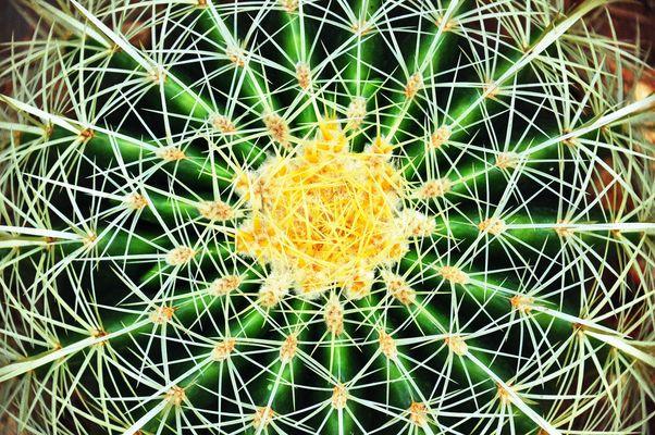 Kenya cactus
