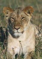 KENYA Masai Mara Löwin