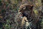 KENYA Samburu Leopard