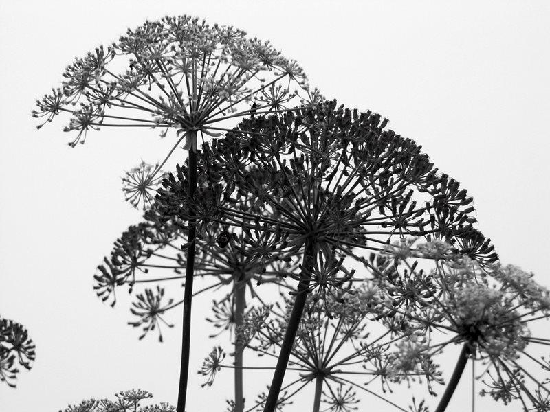 kerbel in schwarz weiss foto bild pflanzen pilze flechten gr ser natur bilder auf. Black Bedroom Furniture Sets. Home Design Ideas