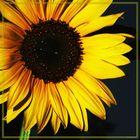Kerstin´s Sonnenblume