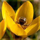 Kesse Biene