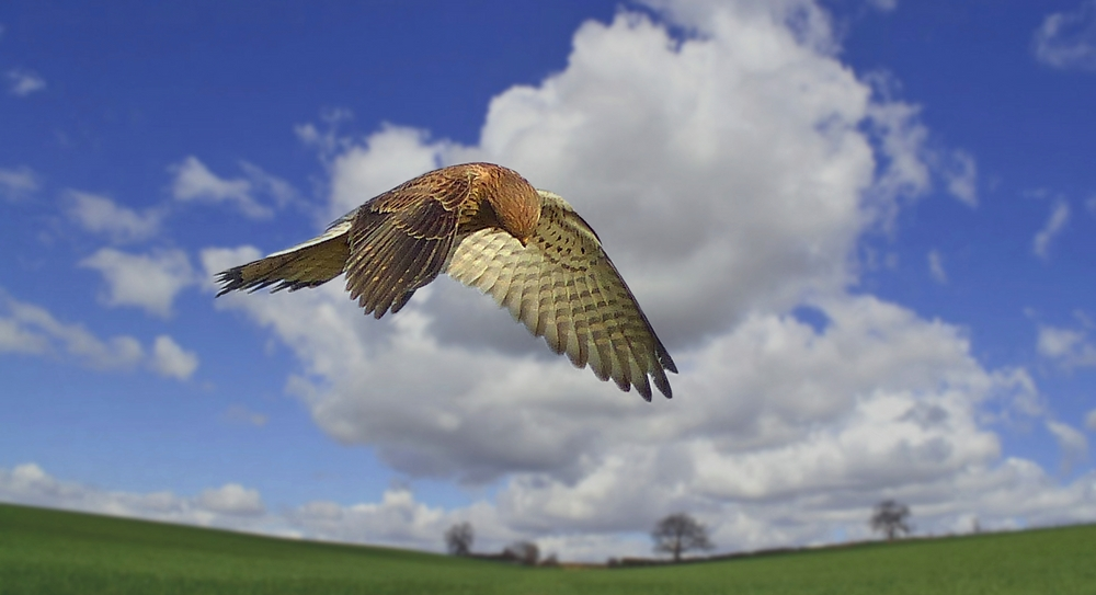Kestrel on the hunt