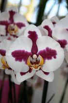 Keukenhof Lisse Niederlande (Orchideen) (23.03.2012)