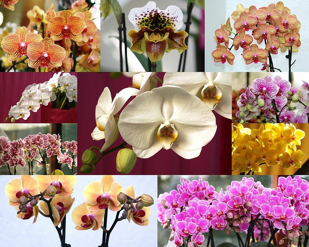 Keukenhof Lisse Niederlande (Orchideen)(23.03.2012)