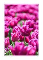 Keukenhof Tulpen