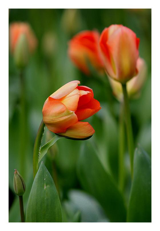 Keukenhof - Tulpen aus Holland
