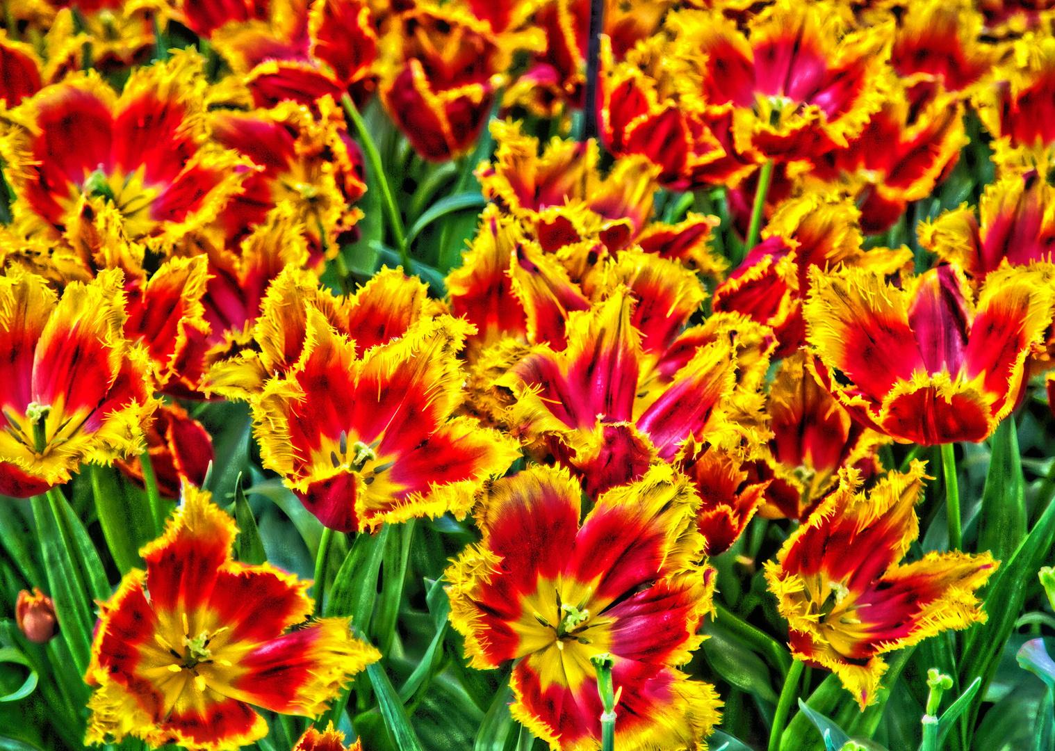 Keukenhof Tulpen im Farbrausch II