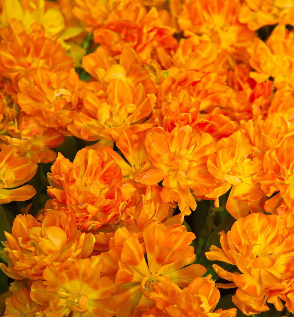 Keukenhof Tulpen im Farbrausch V