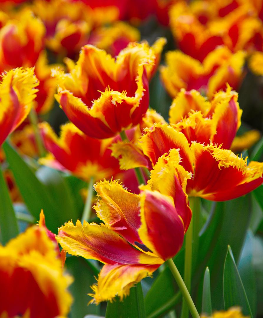 Keukenhof Tulpen im Farbrausch VI