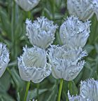 Keukenhof Tulpen im Farbrausch VII