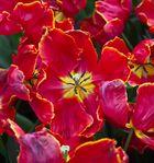 Keukenhof Tulpen im Farbrausch VIII
