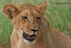 Kgalagadi Kalahari Löwe