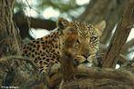 Kgalagadi Leopard ,die Zweite