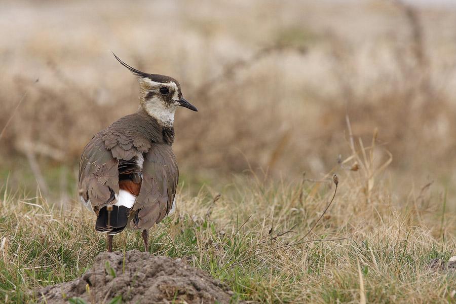 Kiebitz - Vanellus vanellus