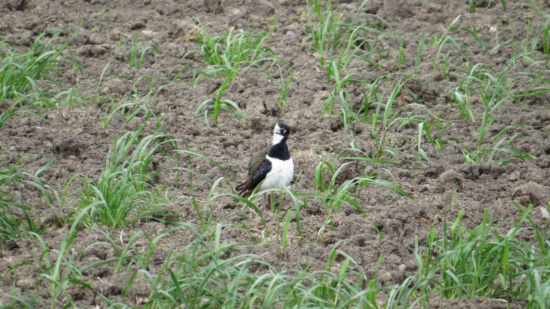 Kiebitz (Vanellus vanellus) (Feldpfau)
