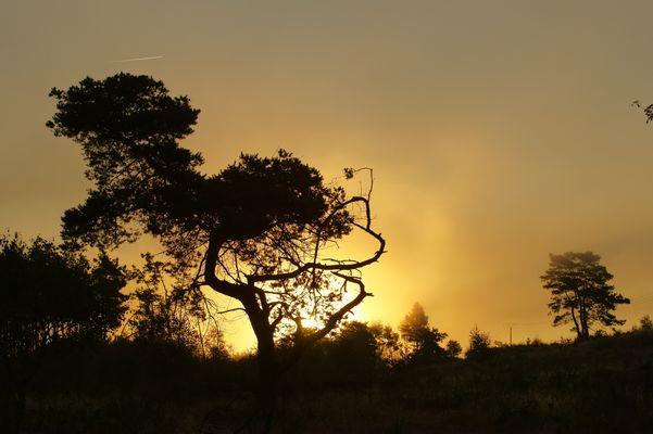 Kiefer im Morgensonnenebel