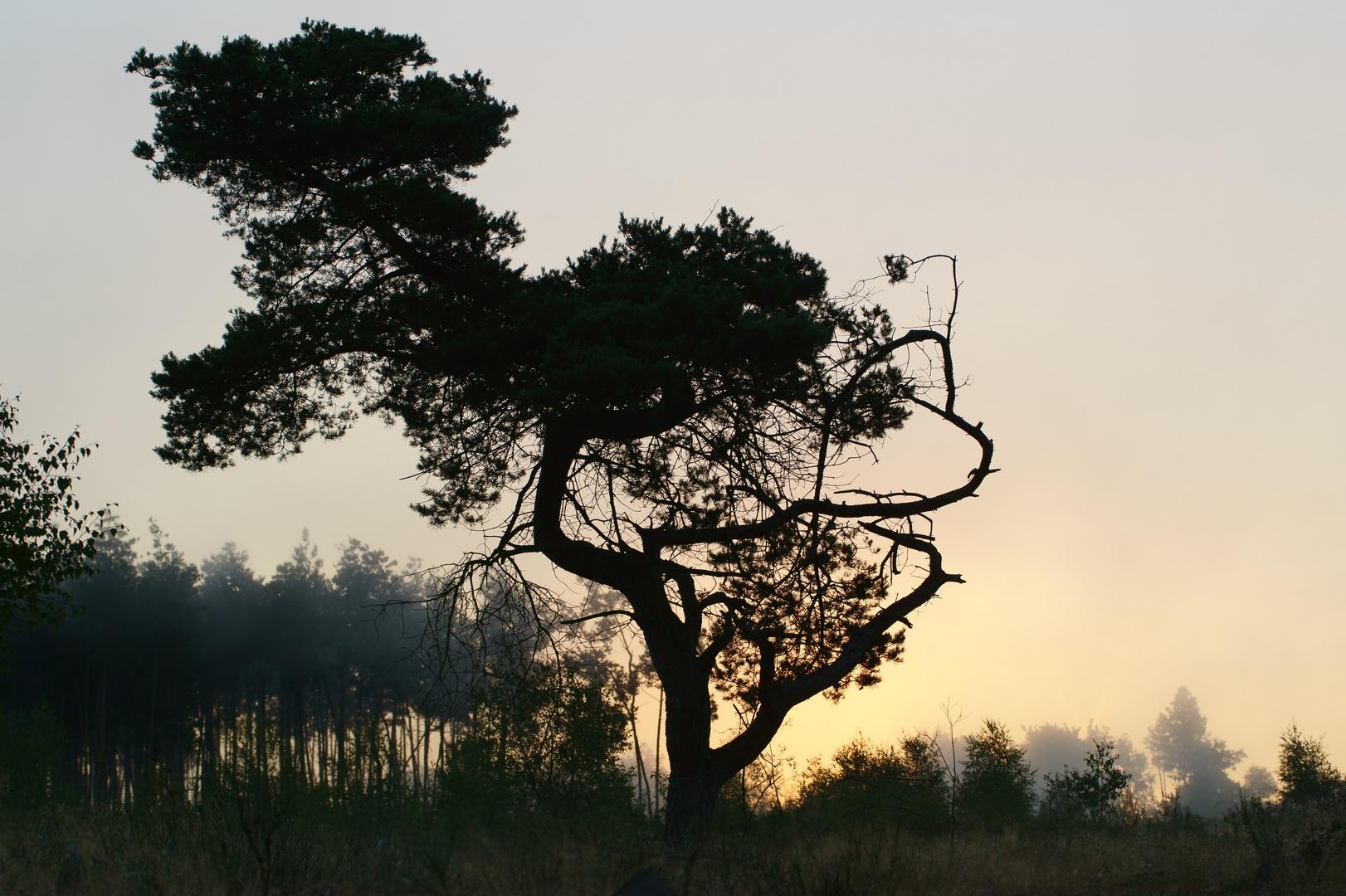 Kiefer vor Morgensonne