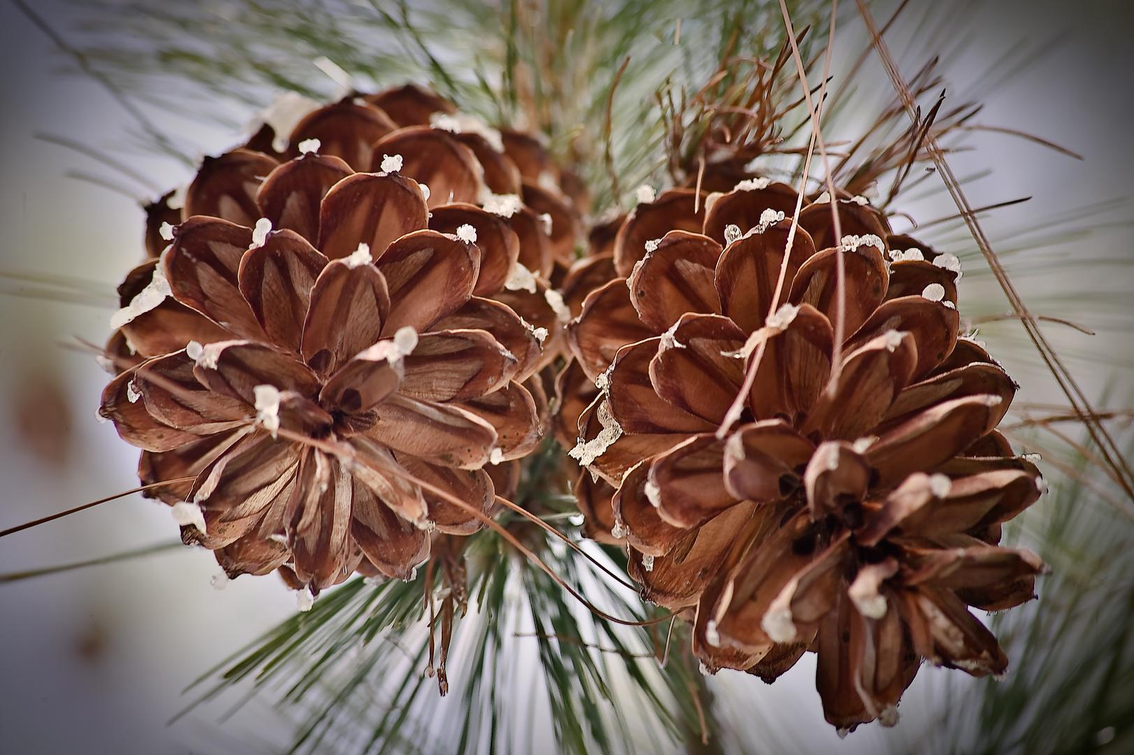 kiefer zapfen ganz gross foto bild pflanzen pilze flechten b ume blatt bl te bilder. Black Bedroom Furniture Sets. Home Design Ideas