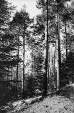 Kiefern im Bergwald