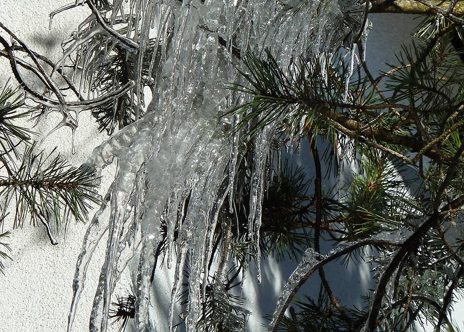 Kiefernnadeln in Eis